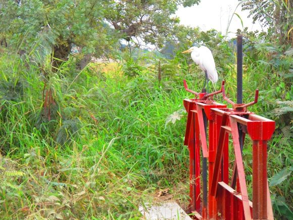 one of the many birds that are feeding off the harvested rice fields.